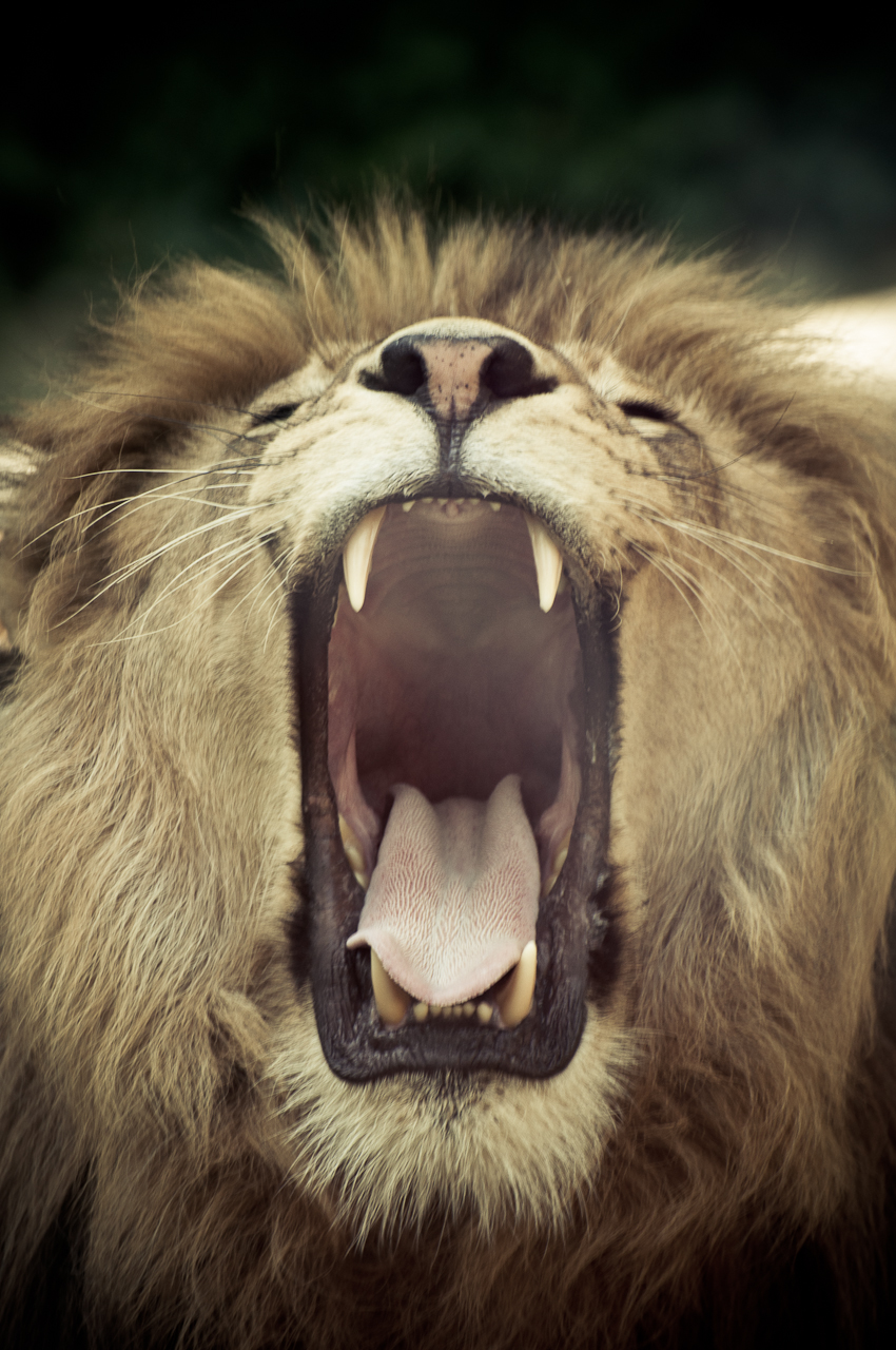 Lion With Open Mouth 48
