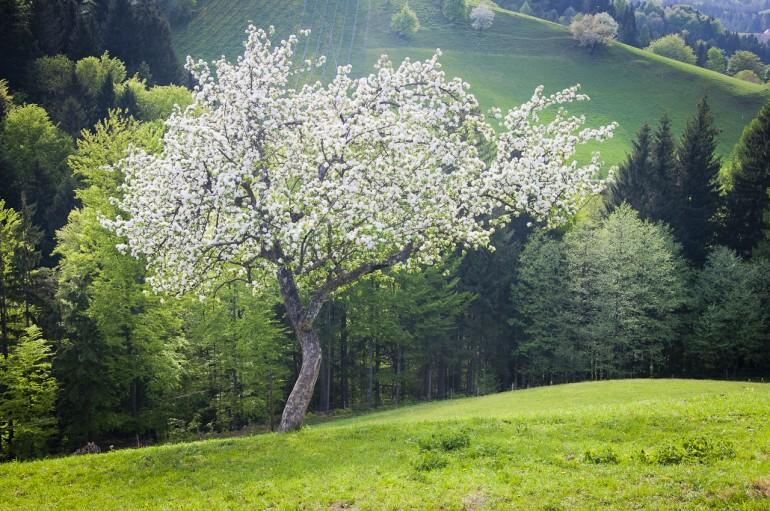 Blooming tree in Austria